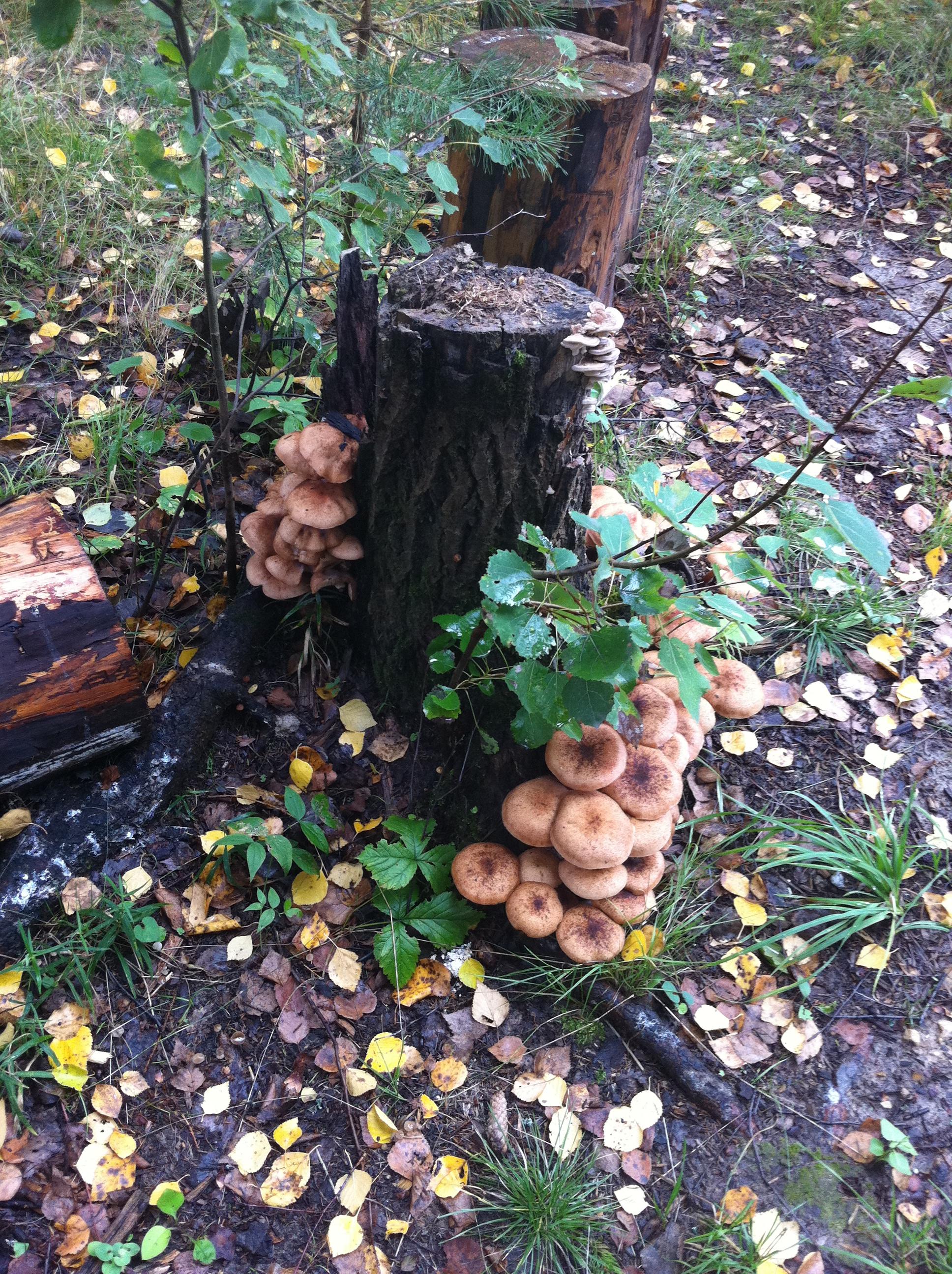 Выращивание опят: пошаговая инструкция. Как выращивать 39